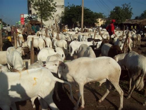 Mouton pour la Tabaski